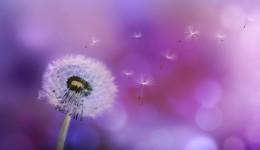 Pusteblume lila verkleinert